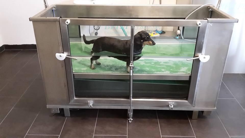 Dackel auf dem BFH Physio Unterwasserlaufband für Hunde Hundephysiotherapie