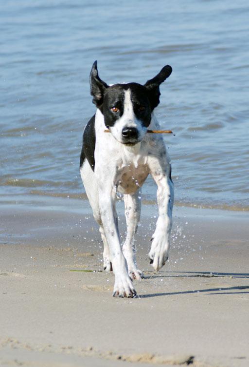 Hunde am Strand rennt nach der Hundephysiotherapie auf dem Unterwasserlaufband
